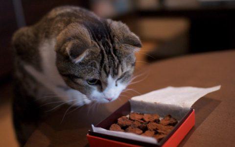 巧克力真的对宠物猫有毒吗?