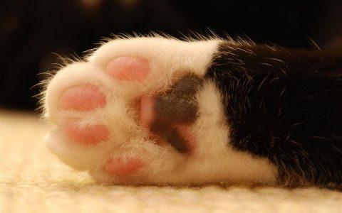 学会看猫咪的肉垫:肠胃功能疾病也能看出来