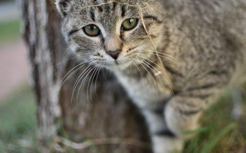猫咪走丢以后该如何找回及预防走丢?