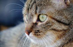 宠物猫眼屎增多怎么办?