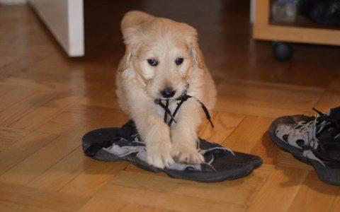 狗狗为什么会乱咬鞋子?