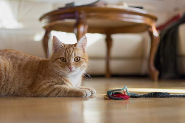 猫咪一直养在家中有哪些好处?