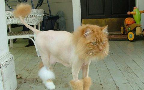 炎热的夏天来了,我们要不要给猫咪剃毛呢?