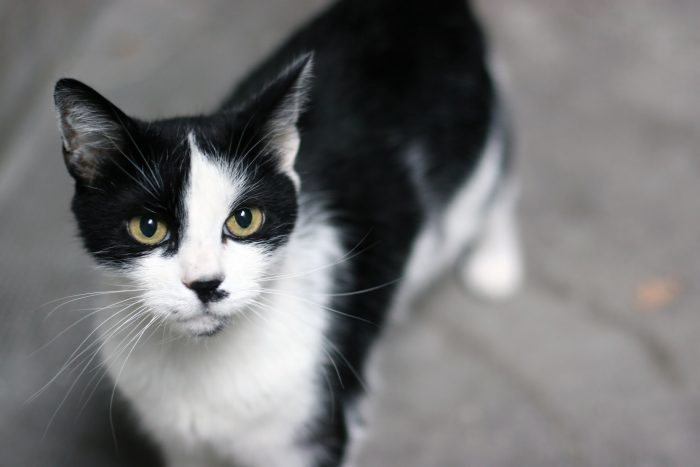 艾滋猫的病毒不会传染给人类或是其他非猫科动物