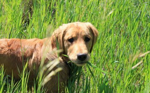 为什么我的狗狗会吃草