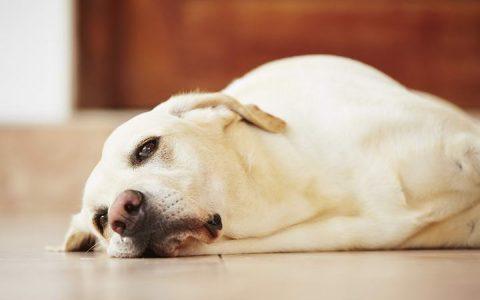 狗狗拉稀的五大原因和预防治疗方法