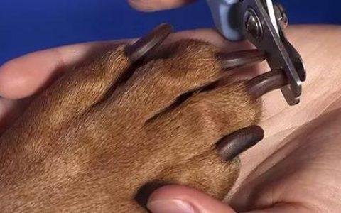 如何正确的给狗狗剪指甲?