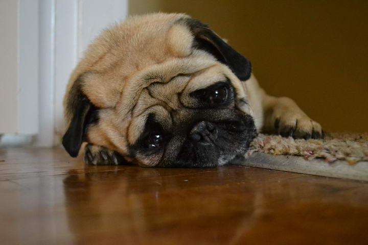 狗狗闷闷不乐的四个原因,宠物狗情绪低落怎么办?
