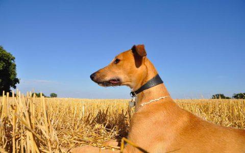 为什么农村土狗很少走丢,而城市狗走丢了就往往找不到