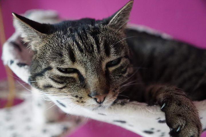 该如何照顾好乳腺癌晚期的猫咪?