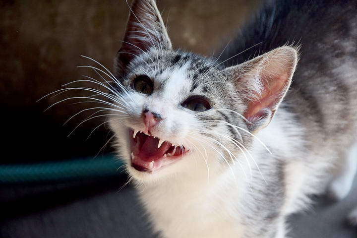 猫咪乳腺癌的症状