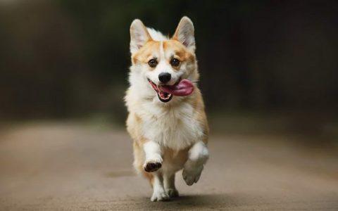 小短腿柯基犬的大耳朵是天生的么?