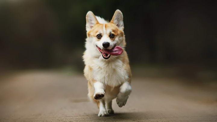 柯基犬的大耳朵是天生的么?