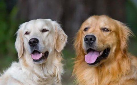 狗爸狗妈操碎心:给狗狗相亲需要注意什么?