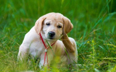 狗狗过敏会有哪些症状,宠物犬也过敏?