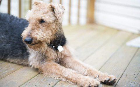 狗狗过敏的三种原因:跳蚤过敏、环境过敏和食物过敏