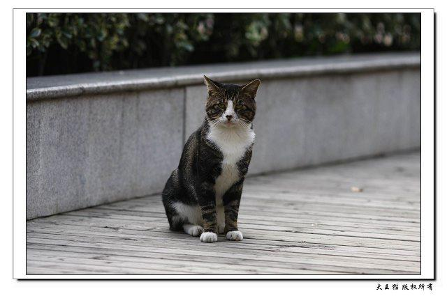 大王猫的标准像