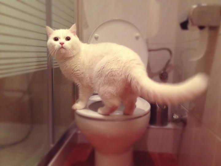 猫咪偷饮马桶里的水,是铲屎官相当头痛的事。