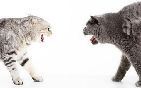 如何让新领养的猫咪和原来的宠物猫和平相处?