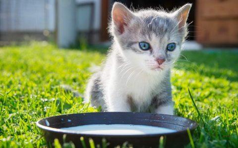 猫咪能喝牛奶果汁么?宠物猫不能喝什么?