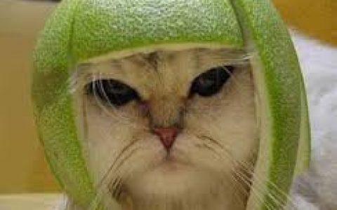 柚子皮戴猫咪头上易造成皮肤红肿过敏