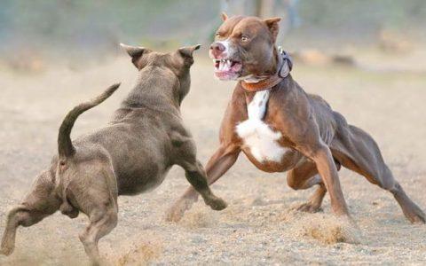 有哪些脾气很坏的宠物狗品种?脾气暴躁的狗