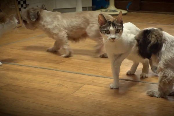 身处在多猫多狗的大家庭让Bbooyong没有自己的空间(图/翻摄自Youtube@SBS TV동물농장x애니멀봐)