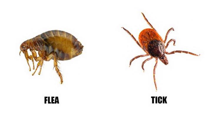 左:跳蚤右:吸血前的壁虱。(图/Do My Own Pest Control)