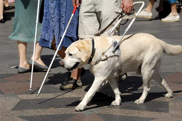 拉布拉多个性稳定,是最常被挑选做为导盲犬的狗种。