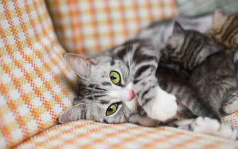 猫咪一般多大的时候发情?宠物猫什么时候性成熟