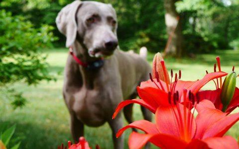 8种对狗狗有毒的花卉