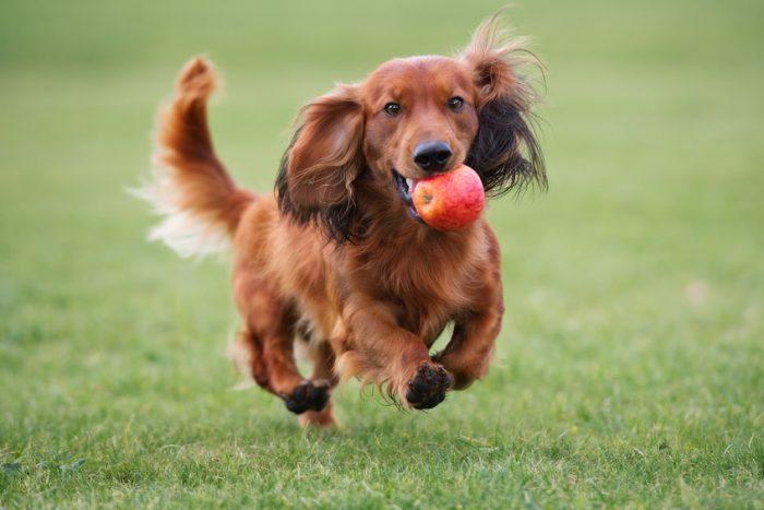 狗狗吃水果时的三大注意事项