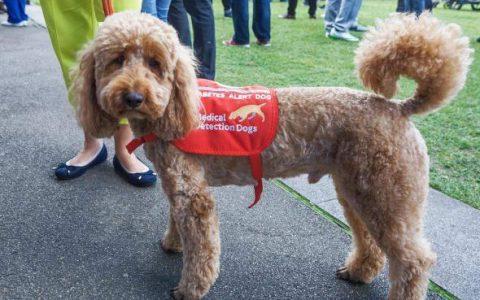 经过训练的狗狗能够闻出肺癌糖尿病,准确率高达97%