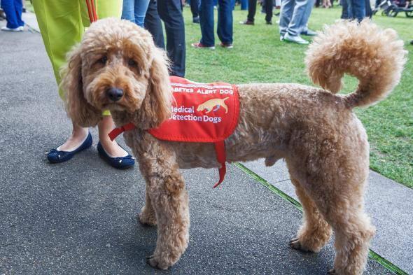 (伦敦一只糖尿病预警犬(或称DAD)。这只狗经过培训学校的严格训练。PHOTOGRAPH BY TONY FARRUGIA, ALAMY)