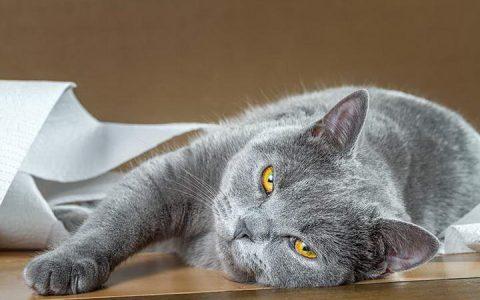 猫咪便秘可能是巨结肠,巨结肠症有哪些症状
