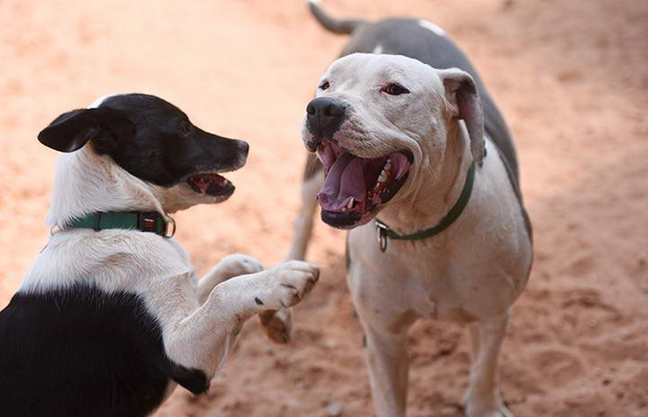 养两只宠物狗比养一只好的5个理由