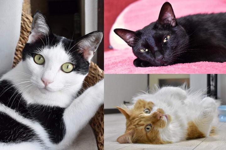 黑猫Chloro、黑白猫くるり以及长毛猫リン在女婴出生后就变成专业保姆猫(图/twitter@kuroro_rin)