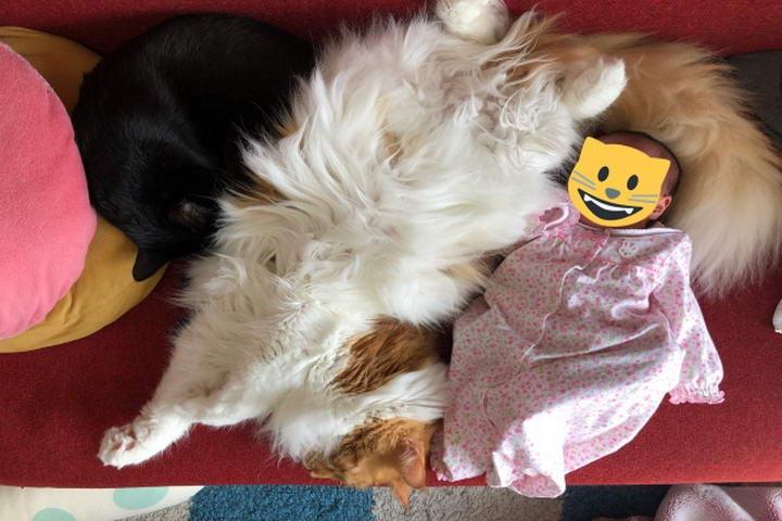 不时还要陪她入睡,奉献自己毛茸茸的体温(图/twitter@kuroro_rin)