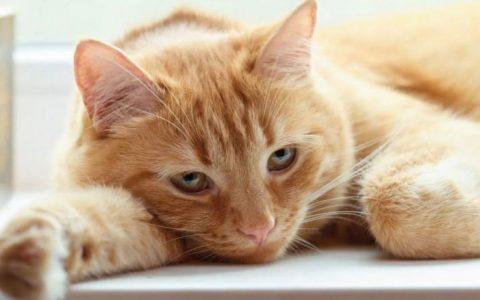 猫咪中毒的紧急处理方法