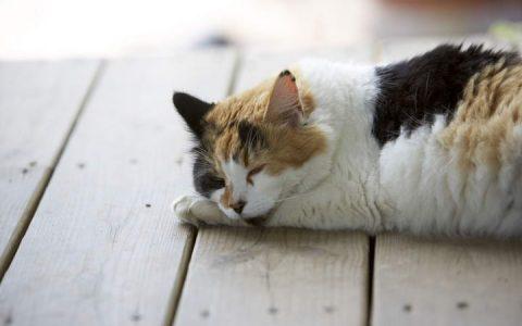 猫咪中暑的紧急处理方法