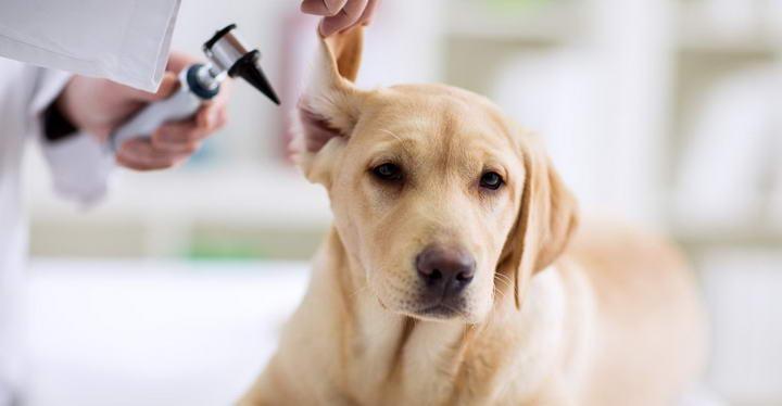 猫咪狗狗的耳朵很脏,教你制作效果很好的洁耳油