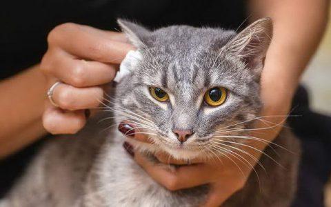 猫咪狗狗的耳朵很脏,教你制作效果很好的宠物洁耳油