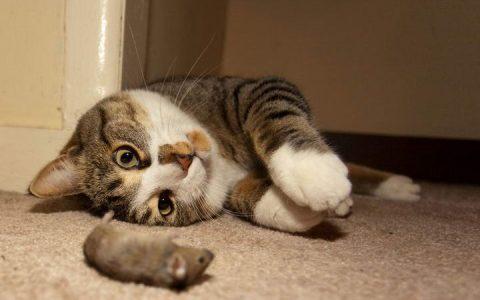 为什么猫咪会有给主人送礼物或猎物的行为