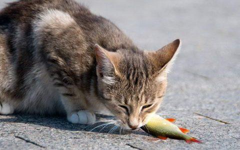 猫咪不能吃未经煮熟的鱼类鱼肉
