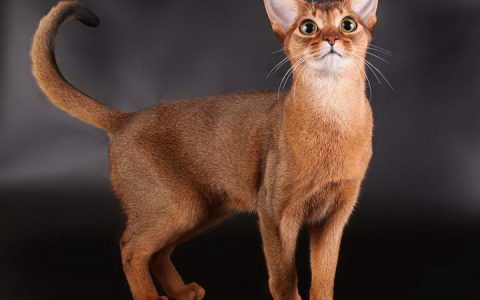 世界上最聪明的10种猫咪,智商最高的猫品种排行榜