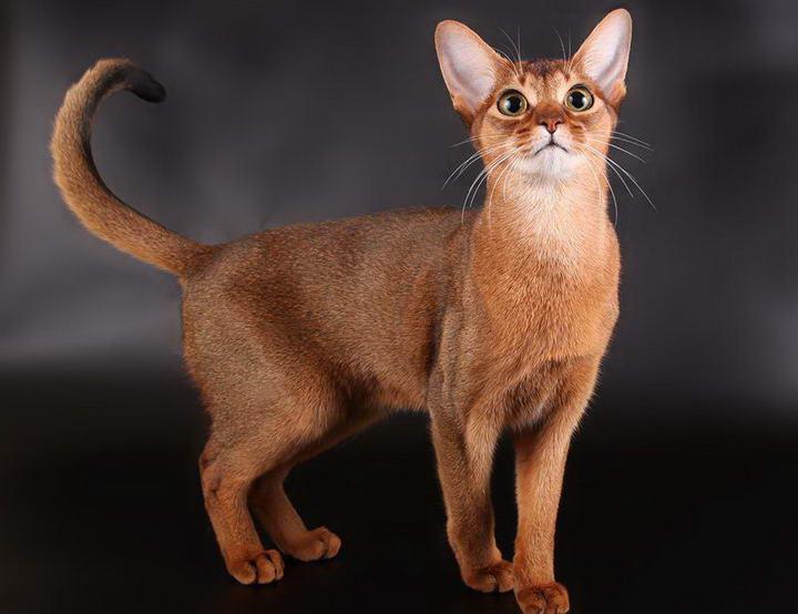 世界上最聪明的10种猫咪排行榜
