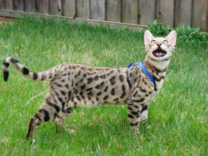 孟加拉豹猫