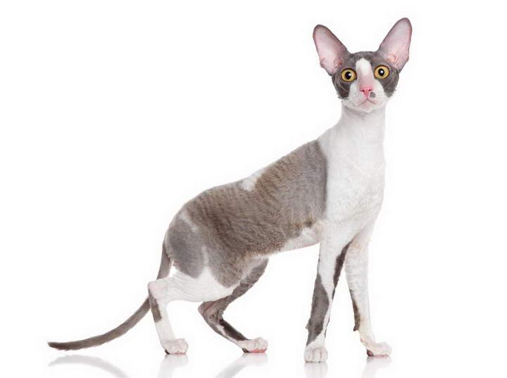 科尼斯雷克斯猫
