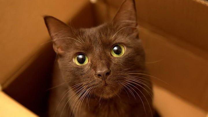 哈瓦那棕猫