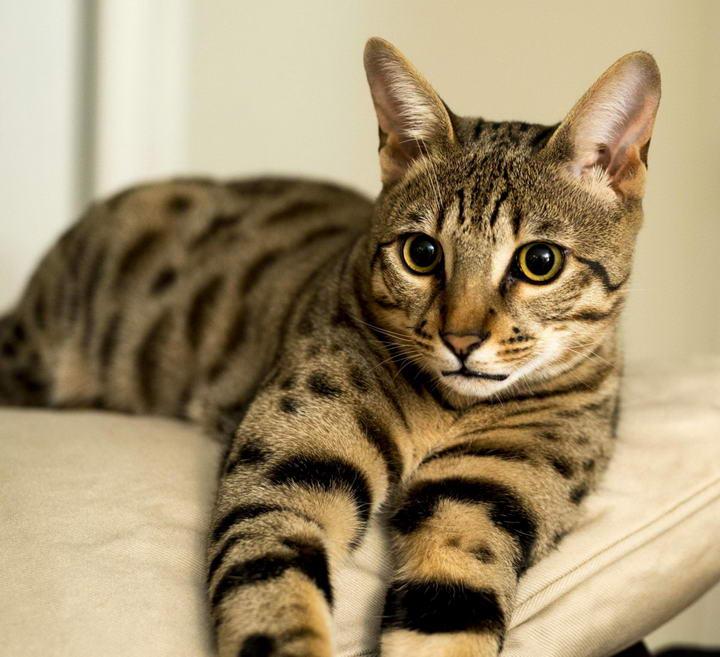 热带草原猫/萨凡纳猫